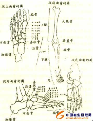 脚骨骼手绘图