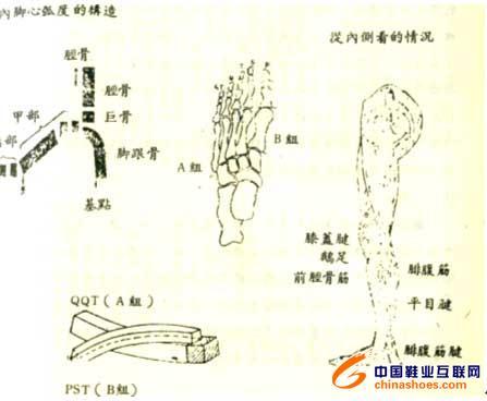 腿部骨骼结构图